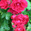 Rose bush — Stock Photo #2205431