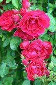 Rose bush — Stock Photo