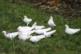 White pigeons — Stock Photo