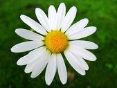 Chamomile flower. — Stock Photo