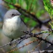 Stock Photo: Garden Warbler bird on tree branch.