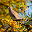 Spotted Dove bird. — Stock Photo