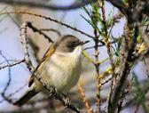 Garden Warbler bird on tree branch. — Stock Photo