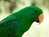 Green Pet Parrot with Orange Nose — Stock Photo