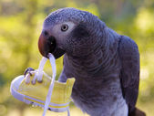 Grey Parrot Holding Shoe — Stock Photo