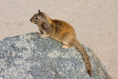 Squirrel Sitting On a Rock At The Beach — Stock Photo
