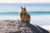 Curious Ocean Squirrell — Stock Photo
