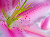 Blooming Flower Lilly Background — Stock Photo
