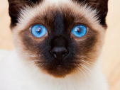 Siamese Cat Face With Vivid Blue Eyes — Stock Photo
