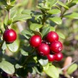 Cowberry — Stock Photo #2239133