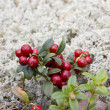 Cowberry — Stock Photo