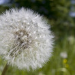 Dandelion — Stock Photo #2239466