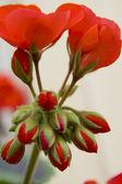 Czerwony geranium — Zdjęcie stockowe