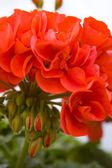 červené pelargónie — Stock fotografie