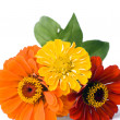 Three zinnias — Stock Photo