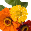 Three zinnias — Stock Photo #2437280