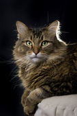 Maine Coon cat on black background — Stock Photo