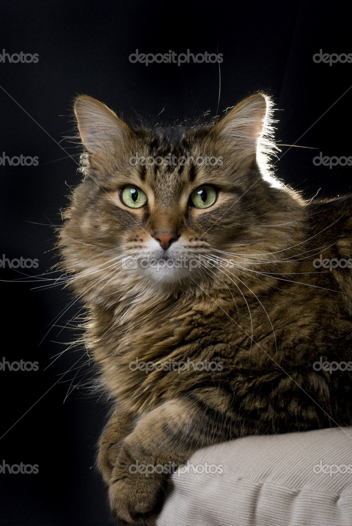 A beautiful maine coon cat laying down on a black background. — Stock Photo #2436743