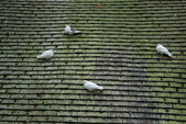 Pigeons — Stock Photo