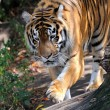 Stock Photo: Tiger,