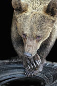 Bear — Stock Photo
