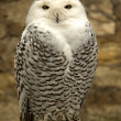 Arctic owl — Stock Photo #2458701