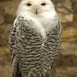 Arctic owl - Stock Photo