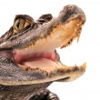 Crocodile, alligator — Stock Photo #2459883