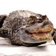 Crocodile, alligator - Stock Photo