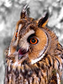 With big ears owl — Stock Photo