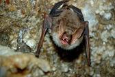 Bat — Stock Photo