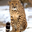 Cheetah — Stock Photo #2528966