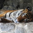 Tiger — Stock Photo #2551054