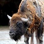 Bison — Stock Photo
