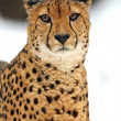 Cheetah — Stock Photo #2551912