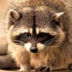 Raccoon — Stock Photo #2552214