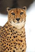 猎豹 — 图库照片