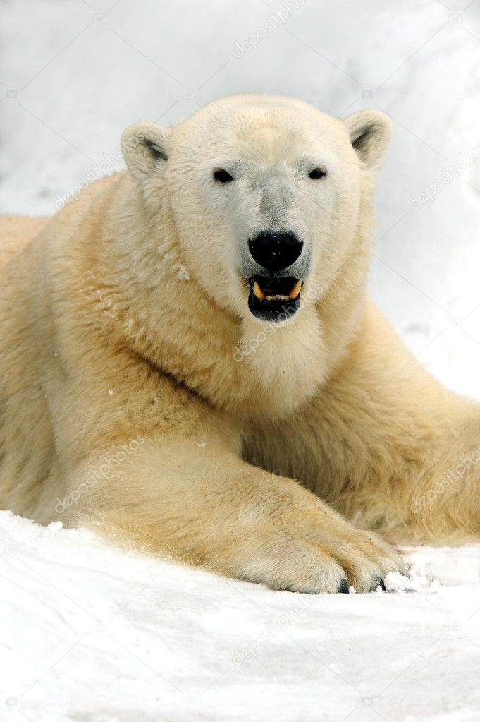 Polar bear  Stock Photo #2550083