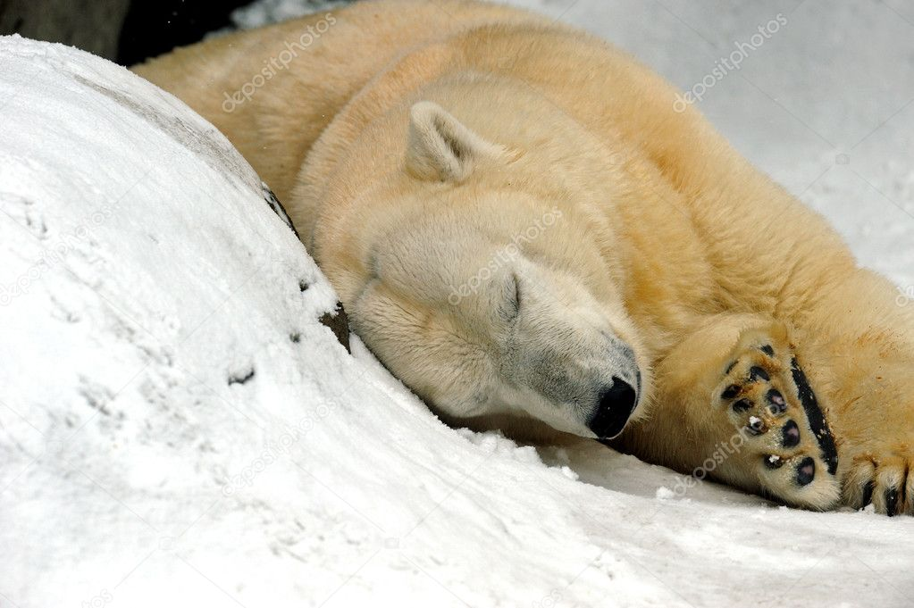 Polar bear  Stock Photo #2550173