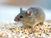 Ratón de la — Foto de Stock