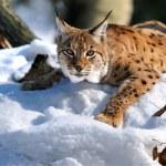 Lynx — Stock Photo #2638934
