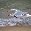 Marine Gull — Stock Photo