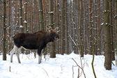 Elk — Stock Photo