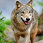 Wolf — Stock Photo #2647400