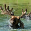 Elk — Stock Photo