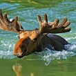 Stock Photo: Elk