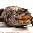 Crocodile — Stock Photo #2676589