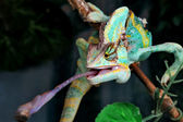Chameleon — Stock Photo