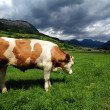 Bull in a grass filed — Stockfoto