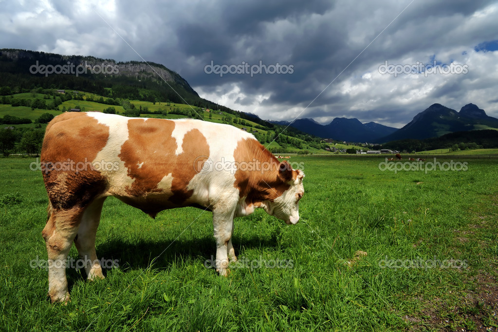 Bull in a grass filed near Bad Mitterndorf, Austria  Stock Photo #2153547